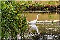 SO8744 : Great White Egret (Ardea alba) by Ian Capper