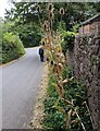 SO4110 : Roadside teazels, Tregare, Monmouthshire by Jaggery