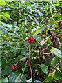 TF0820 : Honeysuckle berries by Bob Harvey