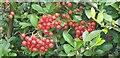 TQ3193 : Berries on Bush by Christine Matthews