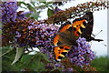 NO4898 : Butterflies on Buddleia by Anne Burgess