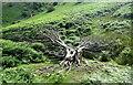 SO4293 : Shattered tree by Bill Harrison