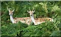 TQ5355 : Two deer at Knole by DS Pugh