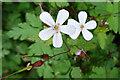 NT2274 : Herb Robert (Geranium robertianum) by Anne Burgess