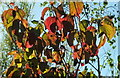 SX9066 : Cherry leaves by Browns Bridge Road by Derek Harper