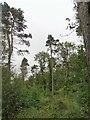 NZ1352 : Pine trees in Billingside Plantation by Robert Graham