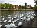 SO8454 : Mute Swans at Worcester by Philip Halling