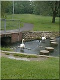 SK2202 : Cygnets at Linear Park by Angella Streluk