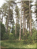 TQ0084 : Trees in Black Park Country Park, Iver Heath by David Hawgood