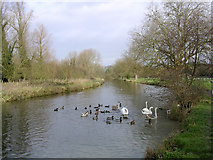 SU4828 : Feeding ducks and swans, the Itchen Navigation north of Tun Bridge, Winchester by Jim Champion