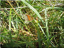 NM3299 : Small Heath Butterfly by Ian Mitchell