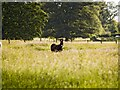 NZ0982 : Donkey in lush pasture at Bolam by JohnDal
