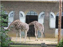 TQ2883 : The Giraffe House at London Zoo by Jack Hill