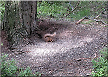 NH9718 : Red Squirrel by Dennis Turner