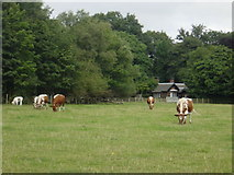SJ4093 : Rare breed cows in Croxteth Country Park by Sue Adair