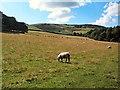 SE1545 : Sheep below Barks Crag by David Spencer