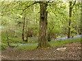 SJ6408 : Hornbeam Tree by Bob Bowyer