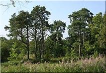 NS5073 : Pine Trees at Auchnacraig by Chris Upson