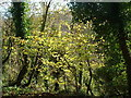 SX5648 : Woods at the top of Membland Hill by Shane White