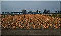TL4896 : Christchurch: Pumpkin field by Nigel Cox