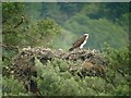NO0443 : Osprey (Pandion haliaetus) on nest, Loch of the Lowes by Hugh Venables