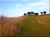TL0925 : Cows on Warden Hill near Luton by Paul Dixon