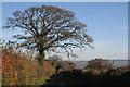 ST0008 : Cullompton: oaks in Beacon Lane by Martin Bodman