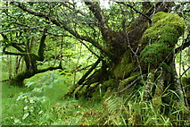 NM5643 : Trees in the wood above Salen by Dennis Prangnell