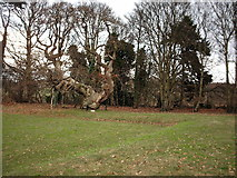 NO3524 : Spanish Chestnut Tree at Balmerino Abbey by Christopher Gillan