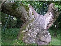 NO3524 : Spanish Chestnut Tree at Balmerino Abbey by corinne mills