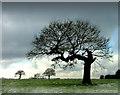 SP0575 : Oak tree by John Smith