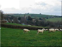SX7361 : Sheep at Mill Cross, Rattery - Devon by Richard Knights
