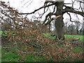 SW4429 : Storm damaged oak by Sheila Russell