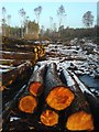 NN9118 : Logging Innerpeffray Wood by Keith Proven