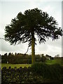 SD3983 : Monkey Puzzle Tree Ayside by Michael Graham