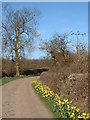 TL6858 : Daffodils in lane to Hill Farm by Sheila Russell