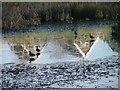 NZ5915 : Ducks on Ice by Mick Garratt