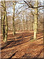 SU8790 : Beech Wood near Little Marlow by David Hawgood