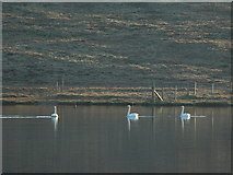 HU5966 : Swans on East Loch of Skaw, Whalsay, Shetland by John Dally