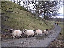 NS3488 : Sheep near Shemore Farm by Chris Upson