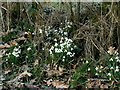 SJ3919 : Banks of snowdrops by Keith Havercroft