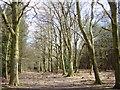 SJ5566 : Primrosehill Wood near Tirley Hollow by Sue Adair