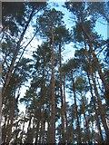 TL0138 : Pines of Moor Close by Paul Dixon