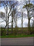 NX1255 : Trees beside the B7077 by Oliver Dixon