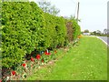 NZ3818 : Hedge and floral verge, Oxhill Farm, Whinney Hill by Oliver Dixon