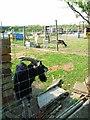 NZ3527 : Goat farm near Sedgefield by Oliver Dixon