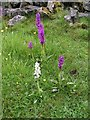 SK0970 : Early Purple Orchid, Horseshoe Dale by Dave Dunford