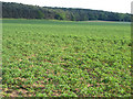 TL2148 : Lupin crop, Sutton, Beds by Rodney Burton