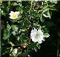 SW6142 : Field Rose by Tony Atkin
