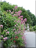 SX4268 : Red valerian (Centranthus ruber) by Penny Mayes